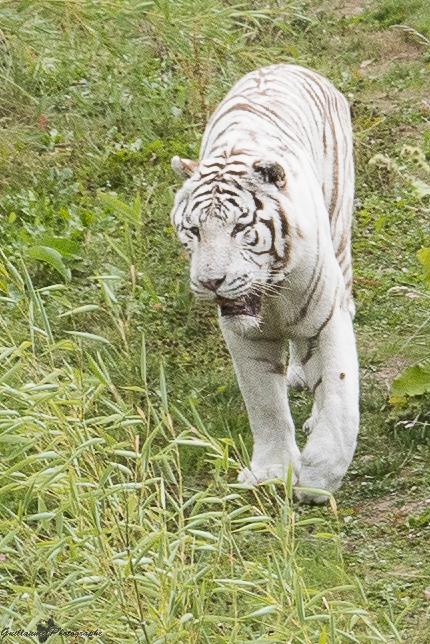 Tigre blanc