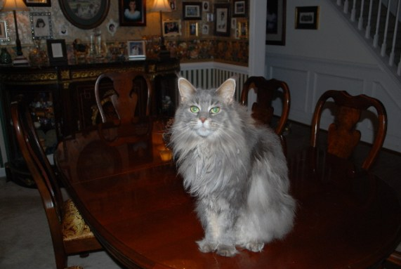 Someone call Andrew Lloyd Webber, it's Grizzabella, the Prozac Cat!
