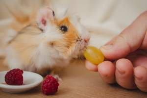 Can guinea pigs eat grapes and what happens when your piggie eats grapes