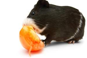 Can guinea pigs eattomatoes?