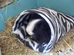 Humphrey in the zebra sack