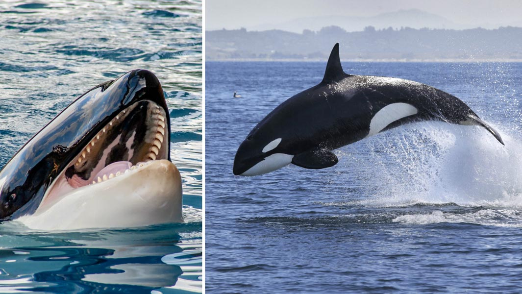 The animal from which great whites flee: 5 killer records held by orcas | Guinness World Records