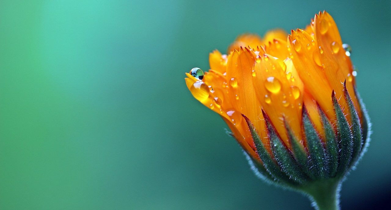 マリーゴールドのお花