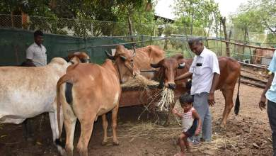 Teacher Bharatbhai Patel getting mangoes in 10 bighas of land by doing cow based natural farming