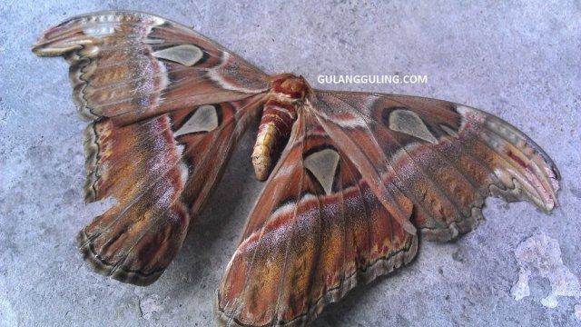 Kupu-kupu Gajah