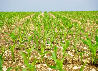 gambar-ladang-jagung