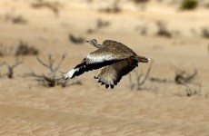 Pakistan villagers attack Qatari royal's convoy hunting rare bird
