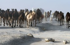 Thousands of camels deported from Saudi to Qatar as GCC rift continues