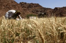 Saudi Arabia buys 625,000 tonnes of wheat in tender