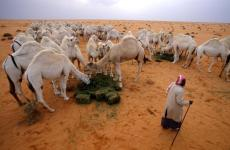 Saudi bans grazing of livestock from other GCC countries for 5 years