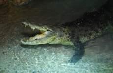 Emaar Introduces Giant Crocodile To Dubai Mall Aquarium