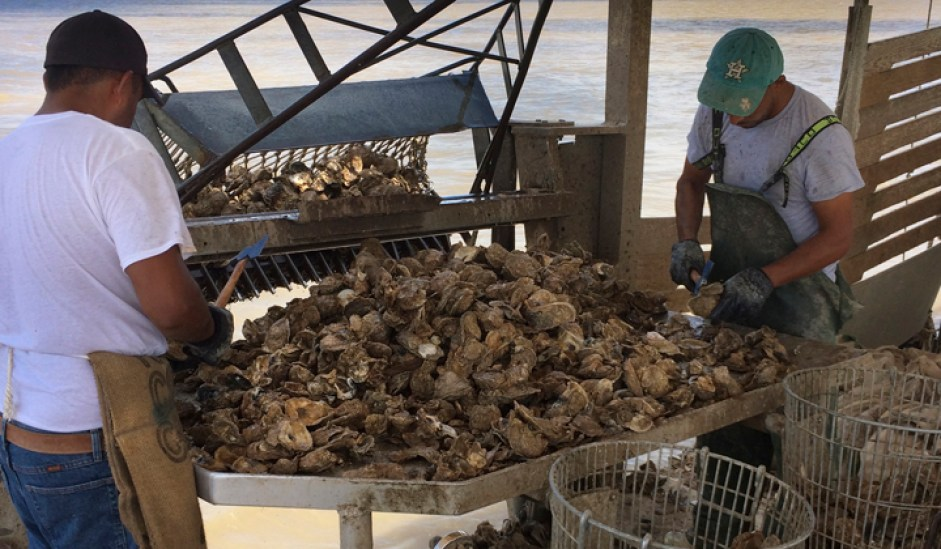 Texas Supreme Court Ruling Keeps Oysters Under State Control - Gulf