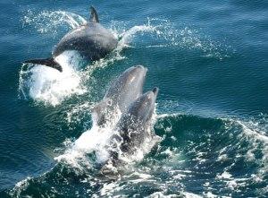 dolphin pod in ocean