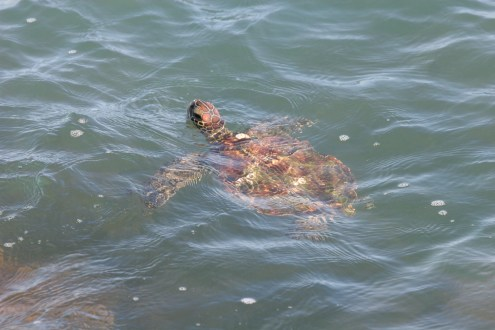 other_Plotkin green turtle photo
