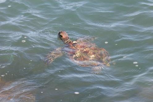 other_Plotkin green turtle photo