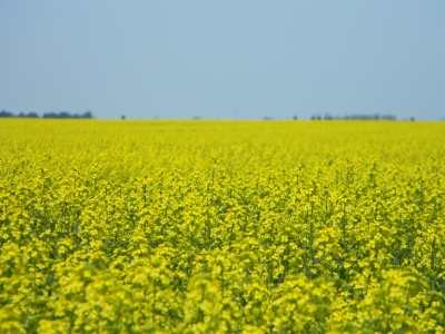 Canada and China Reach a Deal on Canola Trade - SwiftCurrentOnline.com Agriculture Government  Saskatchewan Government of Saskatchewan Crops
