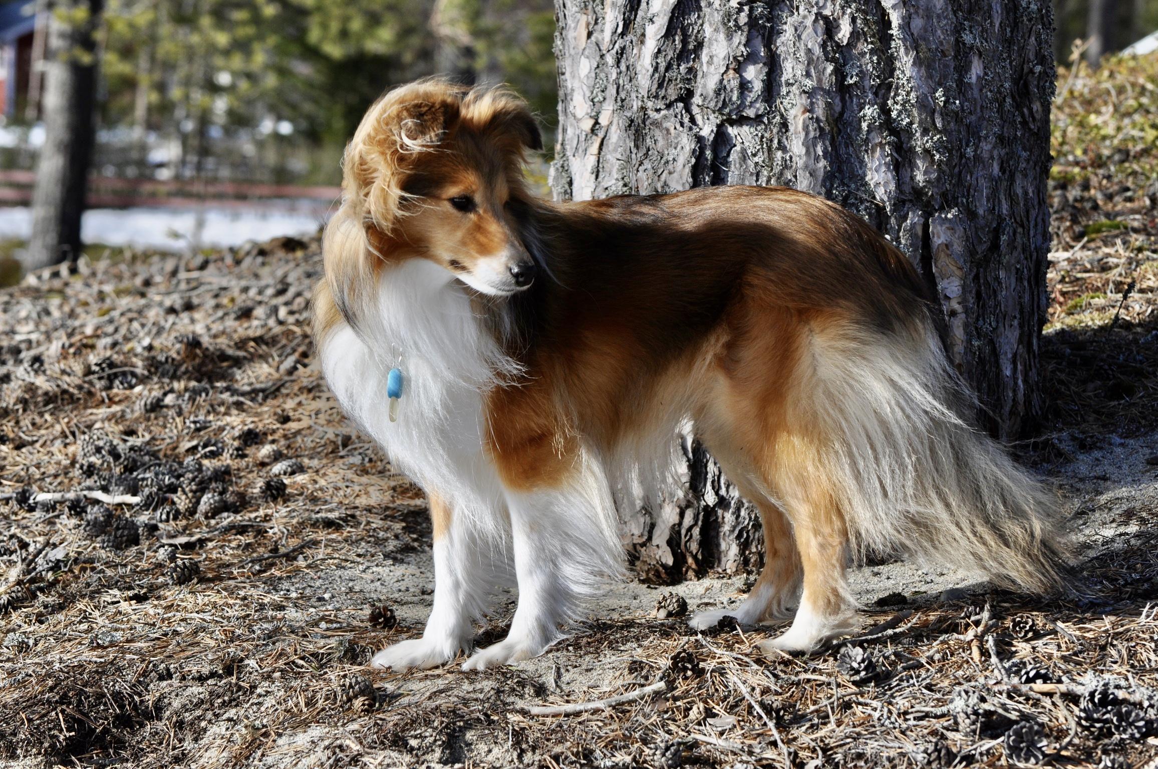 Hund i Gullvik Höga Kusten