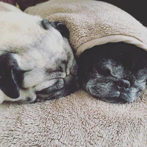 【♡我が家のパグ♡】-寒いからくっついてます。1人で寝てたのに邪魔されてちょっと嫌な顔してる黒パグ。笑 -#パグ #黒パグ #フォーン #pug #青葉台 #横浜 #駅近 #タイ古式マッサージ#リラクゼーションサロンgumi #relaxtime #まったり #かわいい #犬