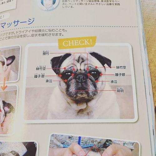 【モデルデビュー♡】今月号の雑誌Wanに載ったよ〜可愛いく撮ってもらってよかったね*#かまくらげんき動物病院#東洋医学#マッサージ #雑誌wan #犬 #かわいい #パグ #フォーン#青葉台マッサージ#タイ古式マッサージ#リラクゼーションサロンGUMI