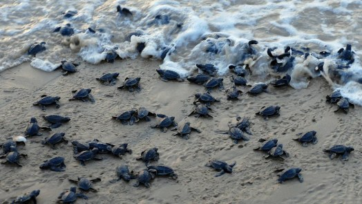 Odisha's 'Turtle Man's' Efforts Help Rare Olive Ridley Breed - The ...