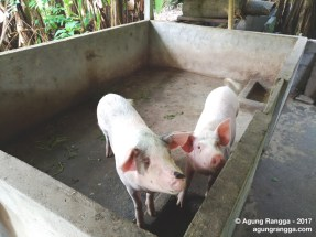 dua ekor babi di kandang