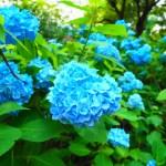 小野池あじさい公園は8000株の紫陽花が綺麗な雨の日も楽しい公園!【群馬】おすすめスポット
