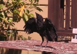 Fledgeling crow in backyard