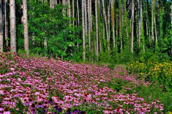 Tall pine trees offer backdrop to colorful Echinacea flowers.
