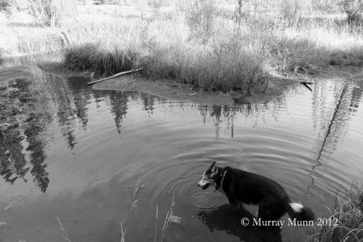 Shelby pausing in water, Lost Pond   Photo by: Murray Munn