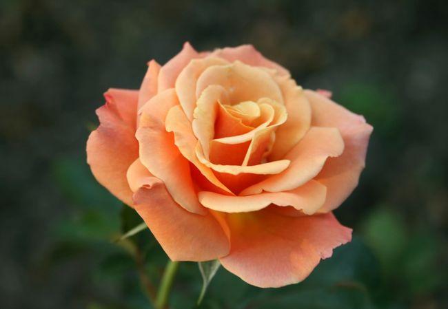 ruusu tauti
