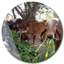 Dairy Farming In India - Basic Selection Guide for Dairy Cow in India