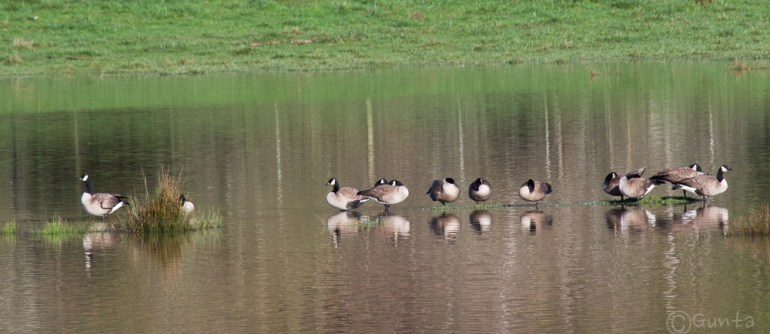 napping geese