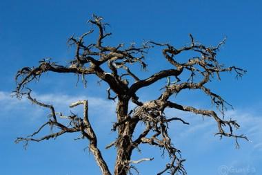 Mojave tree shape