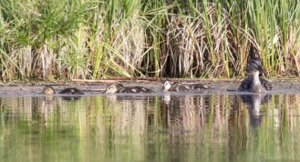 Ble-winged Teal with babies.