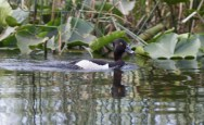 Ring-necked Duck -male