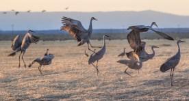 cranes-5490