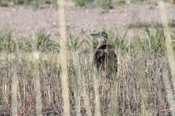 Bosque_del_Apache-7594