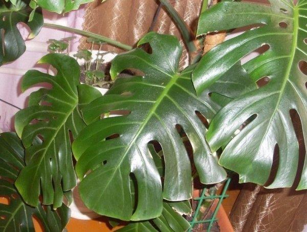 Какие бывают комнатные растения с большими листьями ...