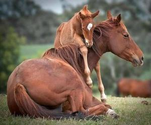 Horse breed and reproduction