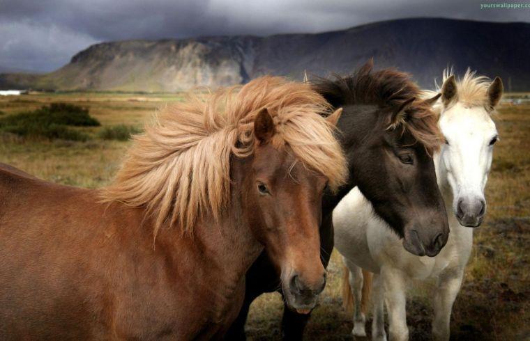 razas-caballo islandés 2