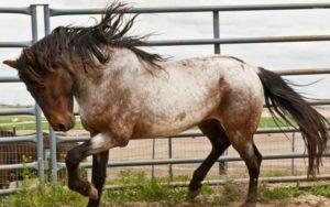 Caballo bereber-raza-caballo-Gustavo-Mirabal