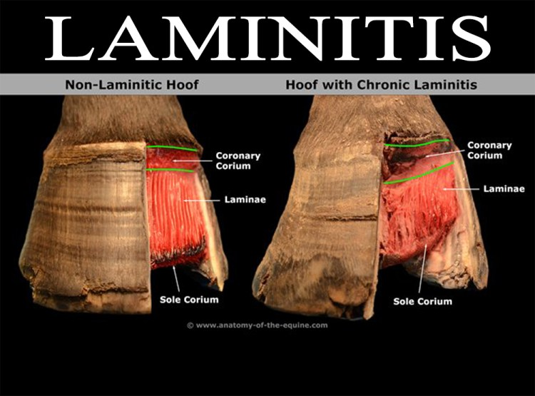 Laminatis Description