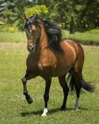 Colombian Criollo Horse Breed