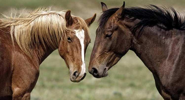 Horses language