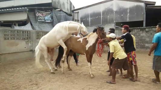 Horse breeding american quarter horse
