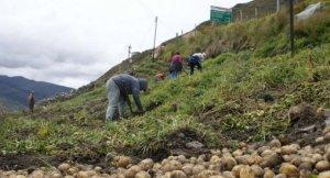 Cultivo de papas en los Andes venezolanos