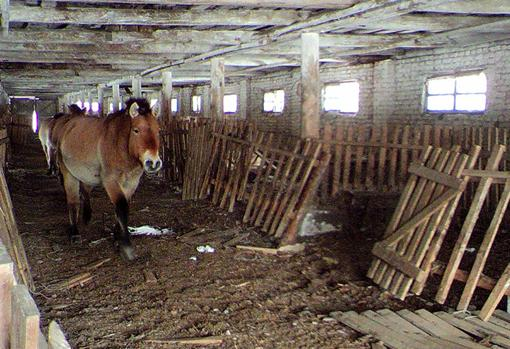 A przewalski horse inside a building
