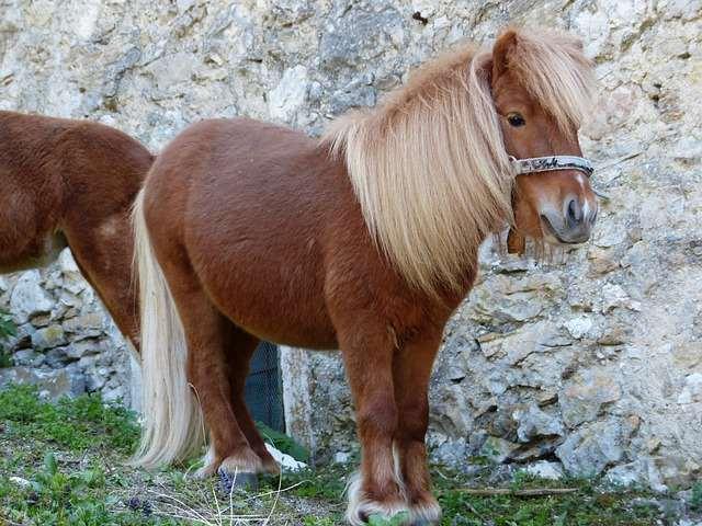 Caballo Poni como mascota