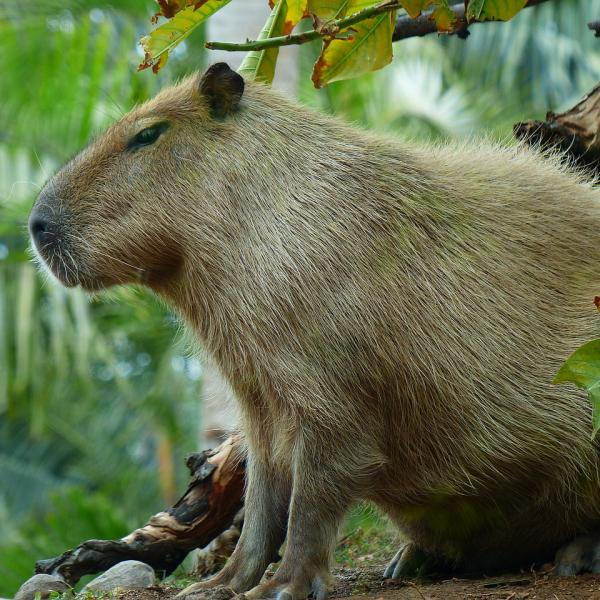 Capybara - Wildlife of Venezuela