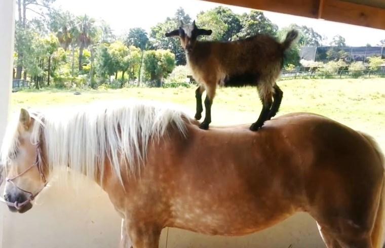 Goats the best allies for an upset horse